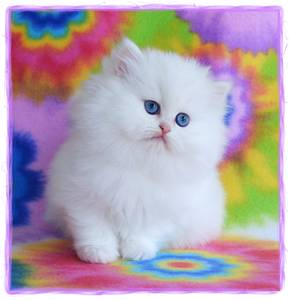 Doll face persian kittens for sale in new england