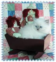 Blue Point Himalayan, Himalayan kittens for sale