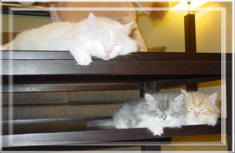 Ragamuffin kittens for sale, Ragamuffin cats for sale, Ragamuffin cat breeders