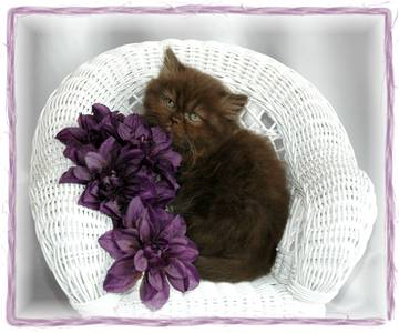 Chocolate Persian, Persian kittens for sale