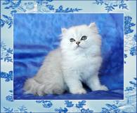 Shaded Silver Persian Cat
