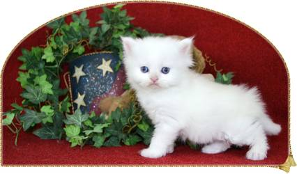 Blue Eyed White Rag A Per Kitten