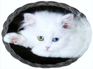 Bi Eyed White Persian
