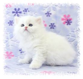 Black Tea Cup Persian kitten for sale