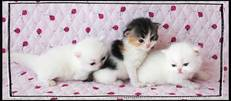 Persian kittens for sale, White Persians