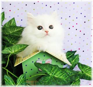White Toy Persian, Persian kittens for sale