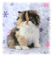 Chocolate Calico, Chocolate Tortie with white, Persian kittens for sale