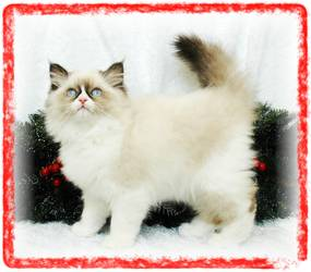Blue Eyed White Persian Kitten for sale