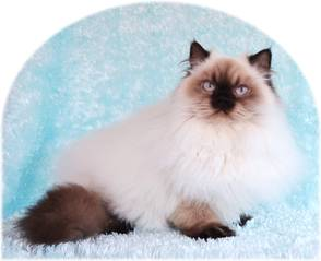 Flame Point Toy Himalayan Cat