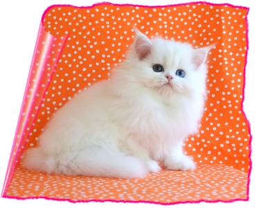 Copper Eyed White Toy Persian