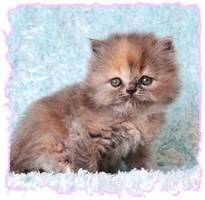 Blue Cream Persian Kittens