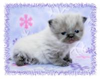 Seal Point Toy Himalayan Kitten