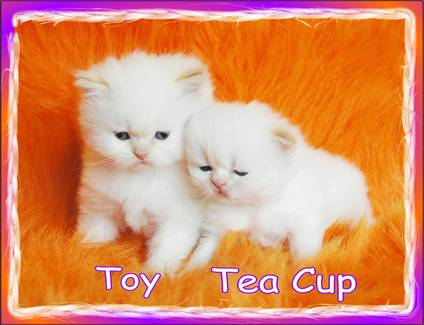 Adorable Teacup Persian | Boutique Kittens