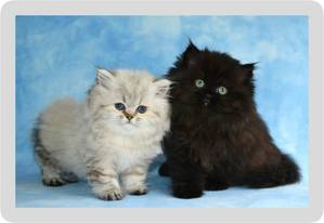 Two Teacup Persian kittens