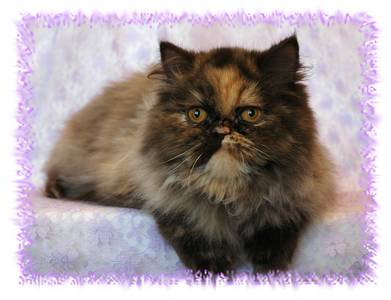 Chocolate Tortie Smoke Persian