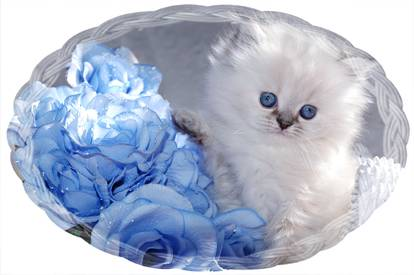 One of our Tea Cup Persian Kittens for sale