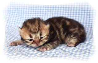 Golden Tabby Teacup Persian
