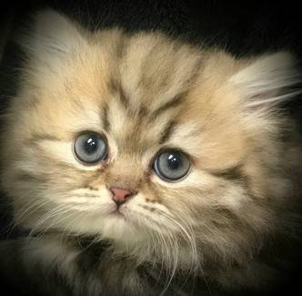 Golden Teacup Persian