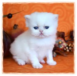 White Teacup Persian