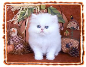 White Teacup Persian kitten