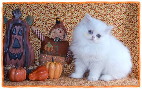 Red Toy Persian kitten for sale