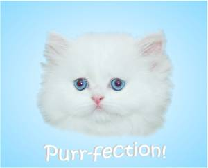 Blue Eyed White Persian, Doll Face Persian Kitten, White Kitten with blue eyes, Cashmere white Persians