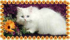 Blue Eyed White Teacup Persian