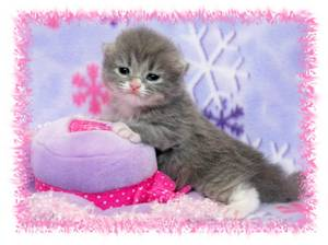 kittens for sale, Ragamuffin kittens, Doll Face Persians