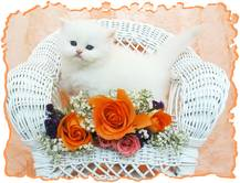 Blue Eyed White Persian, Doll face persian kittens, white kittens with blue eyes, Cashmere white Persians