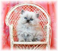 Blue Lynx Point Teacup Himalayan Kitten