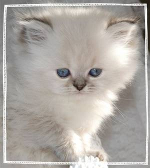 Persian kittens for sale, Doll Face Himalayans, Persian and Himalayan kittens