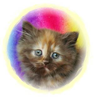 Kittens for sale, Dollface Persians, Himalayan kittens