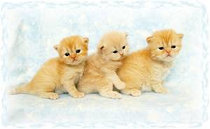 Doll Face Persians, Dollface Persian Kittens
