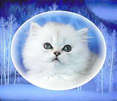 Silver Chincilla Dollface Persian Kittens