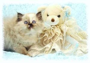 Persian kittens for sale, Persian kittens, Doll Face Persians