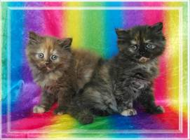 Black Tortie Doll Face Persians, Chocolate Tortie Dollface Persians