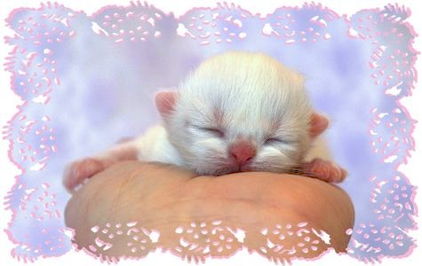 Tea Cup Persian newborn