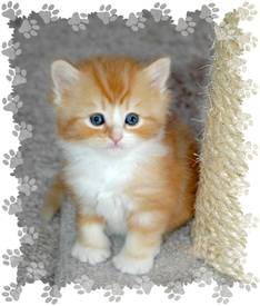 Red Tabby with White Ragaper