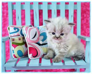 Himalayan kitten for sale